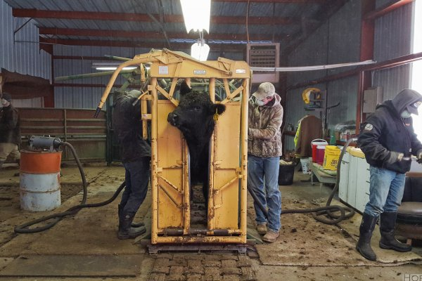 Cleaning bulls for the sale