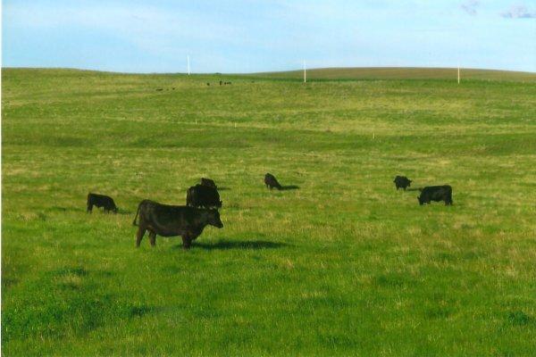 cow calf pairs in summer pasture