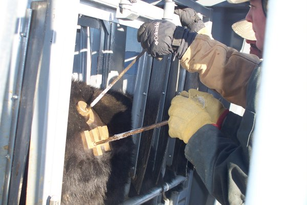 Freeze branding our yearling heifers