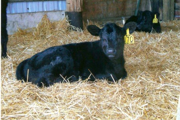 Calf crop