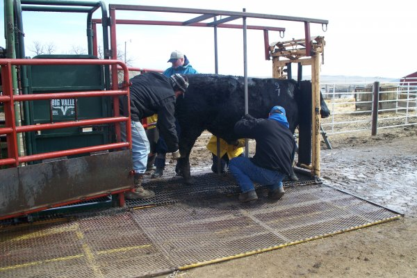 Cleaning the bulls up