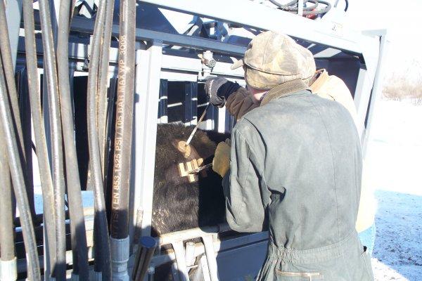 Freeze branding yrlg heifers