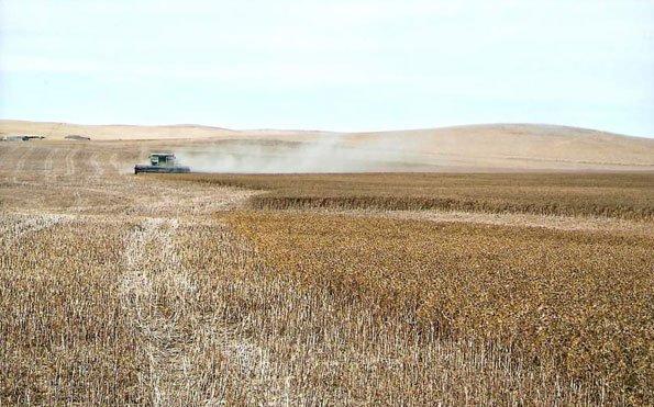 Harvesting Safflower