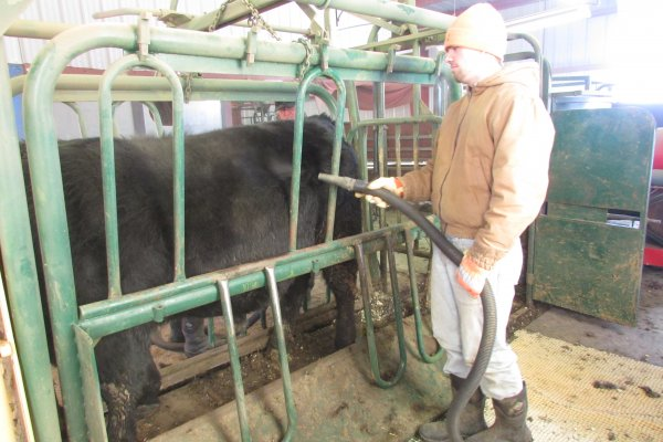 Bob cleaning a bull before clipping.