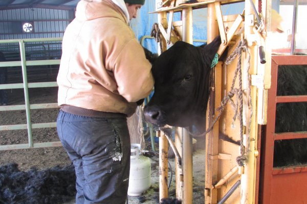 Justin clipping a bull's head