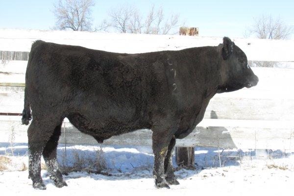Lot #072 B Bar bull sale.