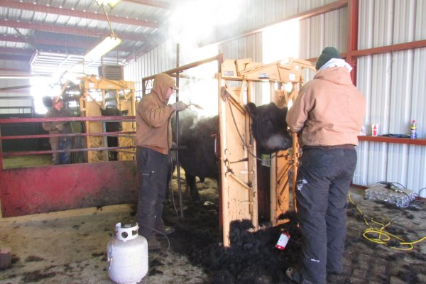 Cory & Justin 'beautifying' our bulls.