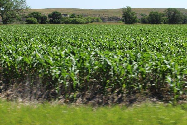 Dryland corn...