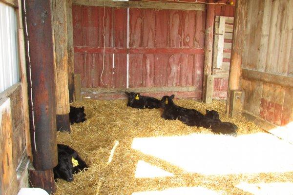 Calves in the calving hutch