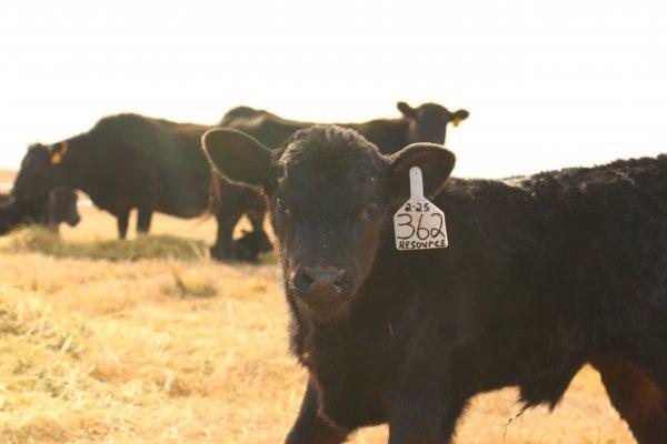 362 calf