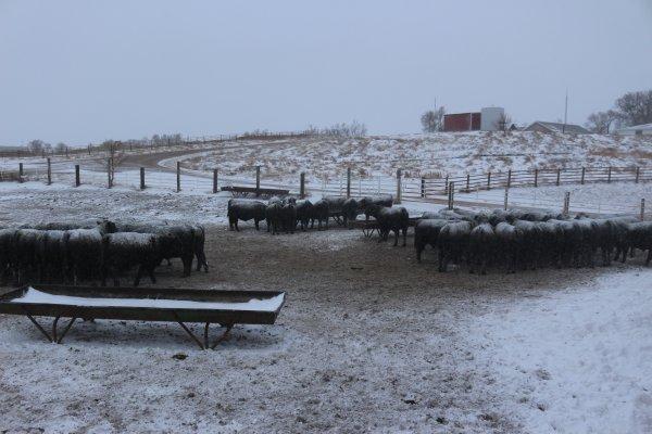 South pen of bulls