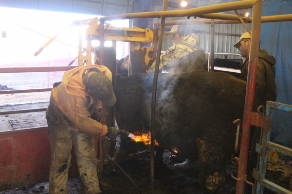 Clipping bulls to be ready for the sale Feb, 2017