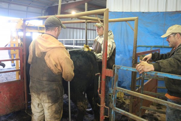 Measuring hip height on the bulls