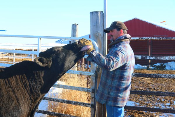 Steve showing some love to a bull