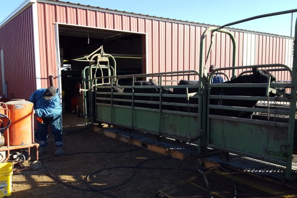 Rob adjusts the pressure washer to clean bulls the day before our sale.