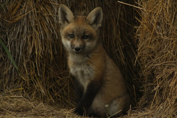 One of Hope's fox pictures.  She got within a few short yards to get this one!